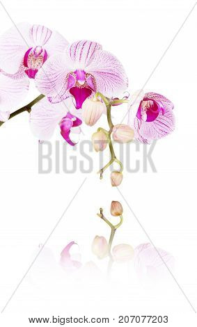 Striped white and pink orchid flowers varieties Bistro Leopard with reflection isolated on a white background