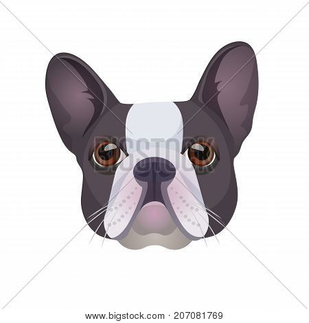Bulldog face colored in grey and white vector realistic illustration. Head of grown up canine medium-sized breed with wrinkled face and distinctive pushed-in nose