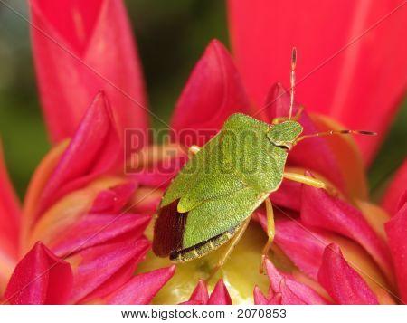 Green Bug In Flower