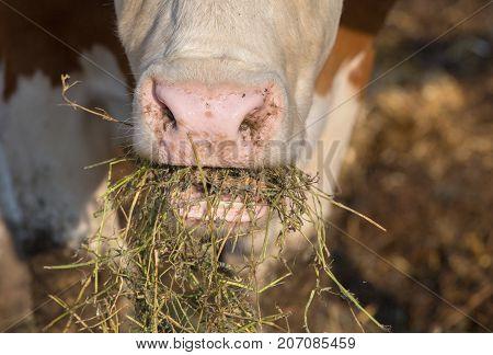Cow Eating Fodder