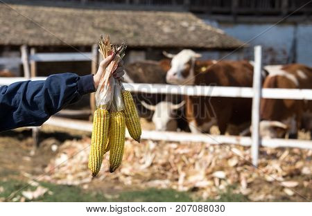 Corn Cobs In Farmer's Hand In Front Of Cows