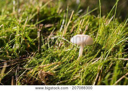 closeup of a small white mushroom hidden in the grass