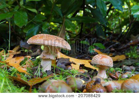beautiful mushrooms in a sunny autumn park