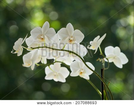 White orchids flowers on a blurred background.