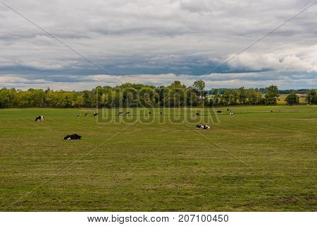 Dairy cows are out to pasture grazing in the grass under an overcast sky in the Finger Lakes region of New York State