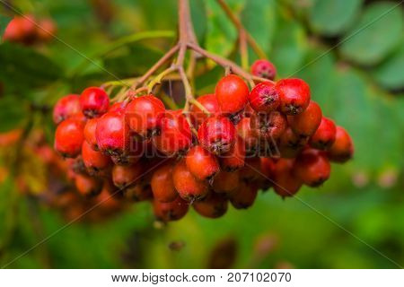 Bunch of red mountain ash. Autumn berries on the tree. Useful edible Rowan is rich in vitamins and good for health.