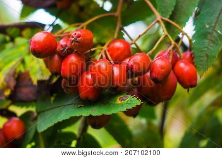 Bunch of red mountain ash close. Autumn berries on the tree. Useful edible Rowan is rich in vitamins and good for health.