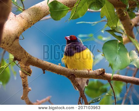 Close up Gouldian finch Erythrura gouldiae red black face bird hung on a branch. Portrait of cute bird.