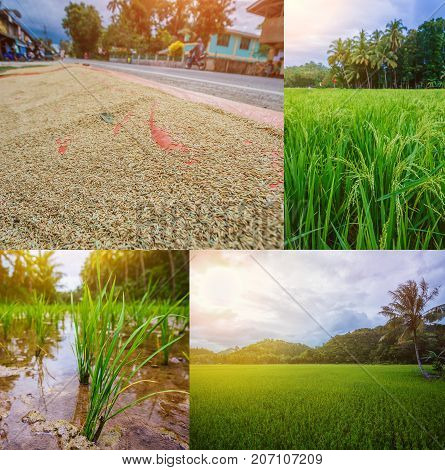 Collage of images Small paddy rice field on Bohol, Philippines.
