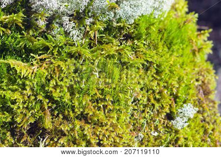Green moss and some lichen in daylight