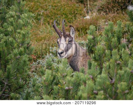 Portrait of male Chamois (Rupicapra rupicapra) in the pine mugho forest
