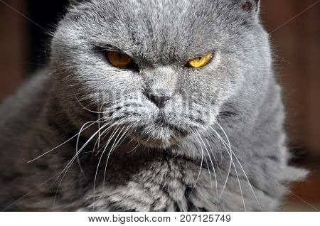 Portrait of British Short hair blue cat with yellow eyes. Resentful look contrast light.