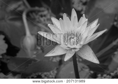 Black and White image of Isolated white lotus flower poked through water in pond at public park. (Selective focus)