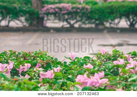Pink flower on green bush with empty space in car parking background in vintage style.