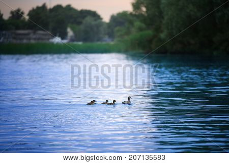 View of beautiful river with wild ducks