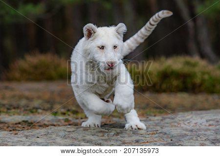 Bengal tiger (Panthera tigris tigris)albino white india
