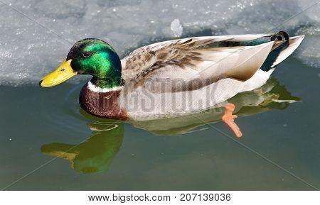 Beautiful Image Of A Mallard Swimming In Icy Lake