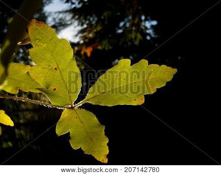 Green Translucent Acer Tree Leaves in the Evening