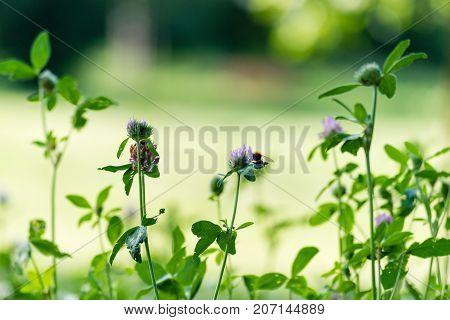 Green Fresh Shamrock With Purple Bloom
