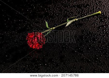 Red Carnation On A Black Reflective Background With Drops Of Water, Studio Shot,