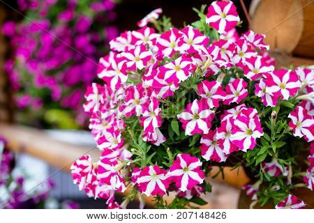 Petunia varieties Prime Time flourishes in a country house