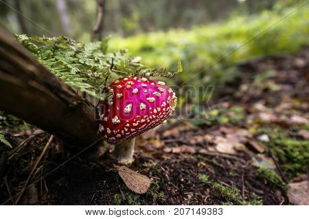 red fly agaric mushroom in scandinavian forest