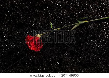 Red Carnation On A Black Reflective Background With Drops Of Water