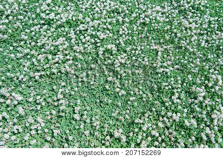 Beautiful field of white clovers or trefoil (Trifolium) , with white clover flowers blooming. Shot from above.