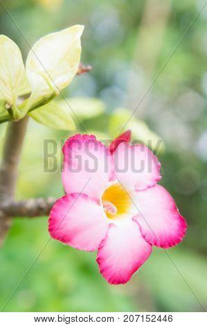 Pink flowers in the garden Desert Rose; Impala Lily; Mock Azalea flowers