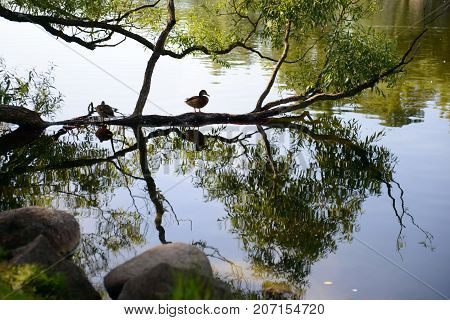 Landscape of lake and ducks reflected in the water. Bird waterfowl during the summer season. The world of animals in their natural habitat.