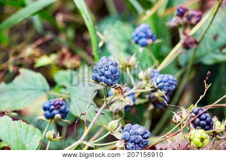 Blackberry berries in the forest. Rubus caesius. Selective focus