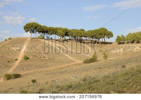 Trees on arid countryside in Belmonte province of Cuenca Spain.