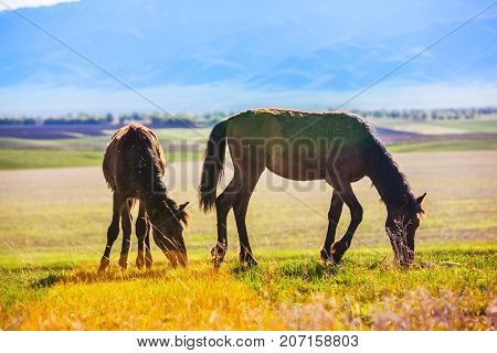 Two wild horses are grazing across the steppe, Kazakhstan
