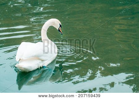 beautiful white bird floats in the lake by raising its wings from its beak drops a drop of water
