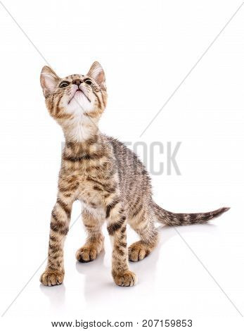 playful striped cat. Striped kitty is playing. The cat is isolated on white. pet. A true friend.