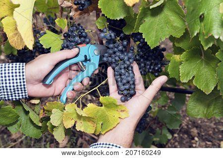 Horizontal Harvesting Secateurs Hands Man Grape Syrah