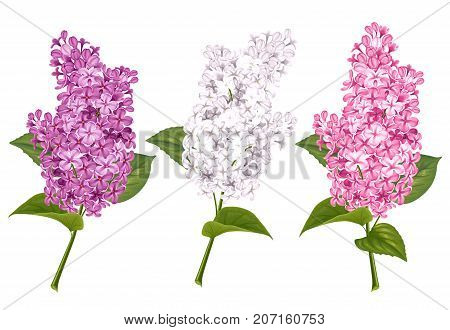 Set Of Lilac Branches