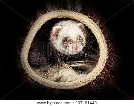 Young sable ferret sticking out of the little house