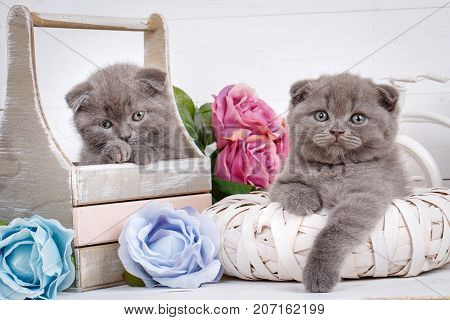 Home, calm and love concept - two Scottish Fold Cats fall asleep. Beautiful decorated house for kittens.