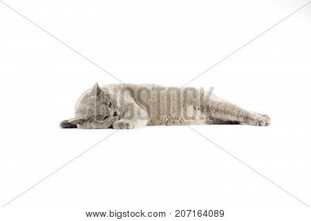 Portrait Of British Shorthair Cat On A White Background