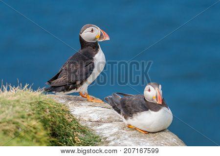 North Atlantic Puffins At Faroe Island Mykines