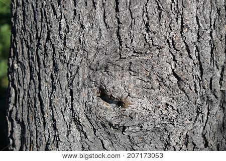 Rough, with furrowed bark on the trunk of a tree.