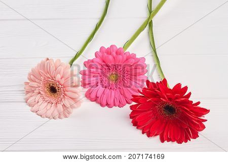 Colorful gerbera flowers. Beautiful gerbera on white wooden background. Delicacy and beauty concept.