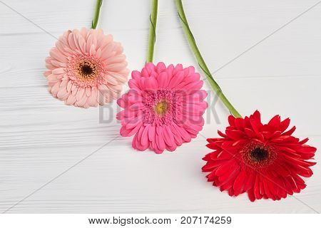 Beautiful gerbera flowers. Gentle colorful gerberas on white wooden background. Beauty and tenderness concept.