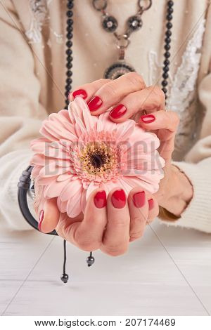 Red manicure and gentle gerbera. Woman hands with red varnish on nails holding gerbera flower. Skin love and tenderness.