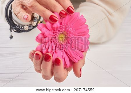 Bright pink gerbera in female hands. Old woman hands with perfect red manicure holding gentle gerbera. Female elegance and delicacy.
