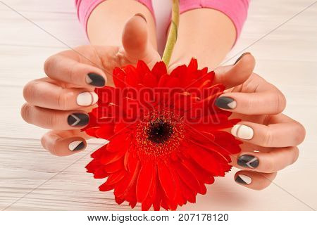 Red gerbera in female manicured hands. Beautiful red gerbera flower in well-groomed hands of young woman. Female skin treatment and delicacy.