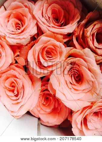 pink roses with a different texture & contrast