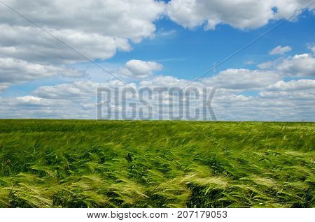 green wheat field swaying in the wind