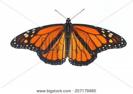 Male Monarch Butterfly (danaus plexippus) isolated on white